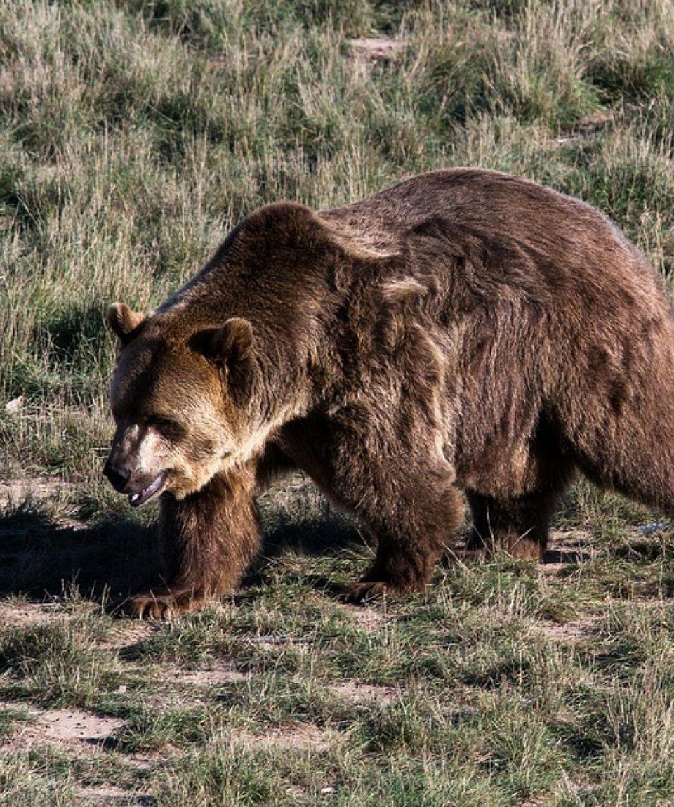 observacion-avistamiento-oso-pardo-cantabrico-asturias
