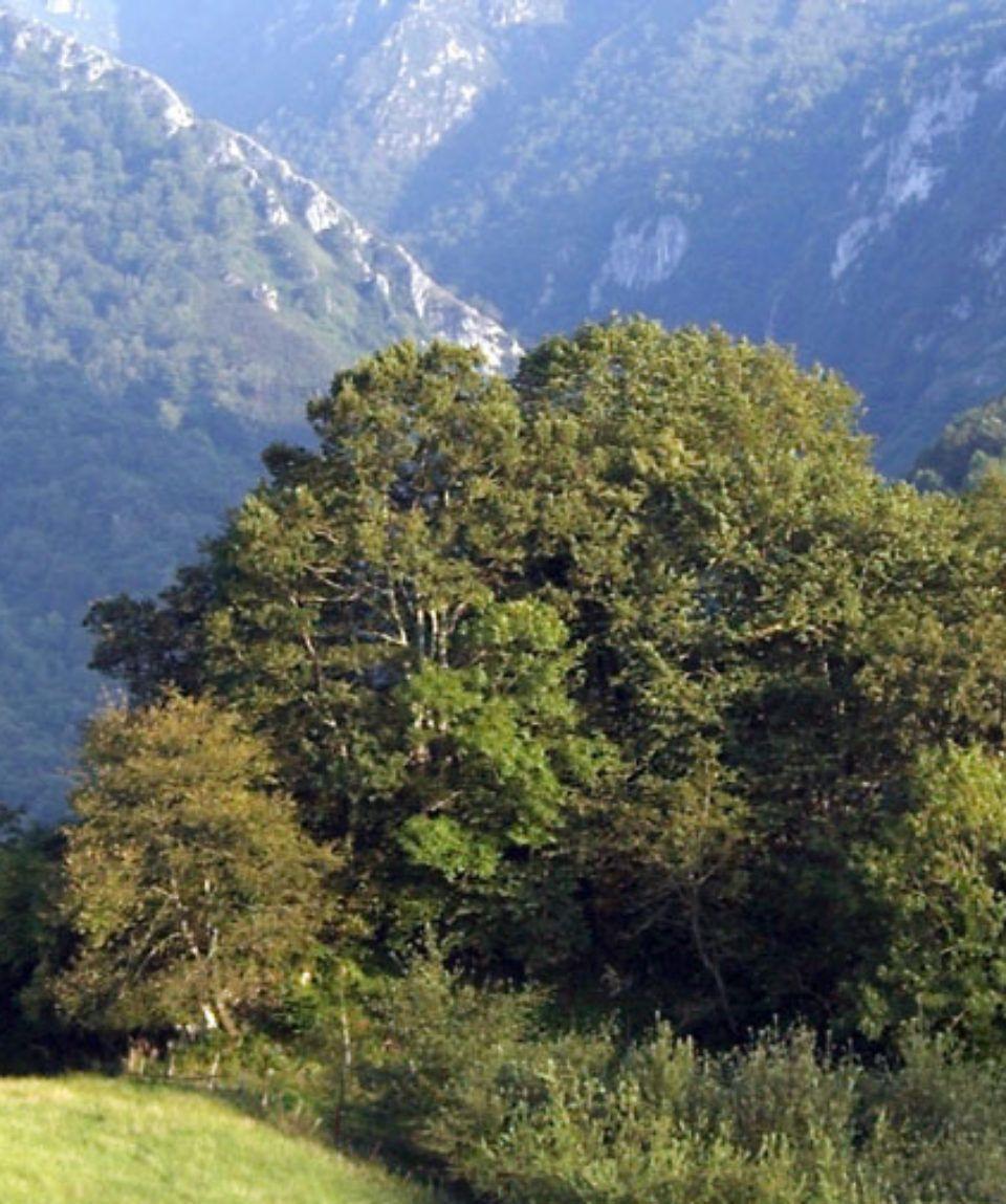 Detalle Bosquecillo sobre el valle Parque de Ponga Axtur
